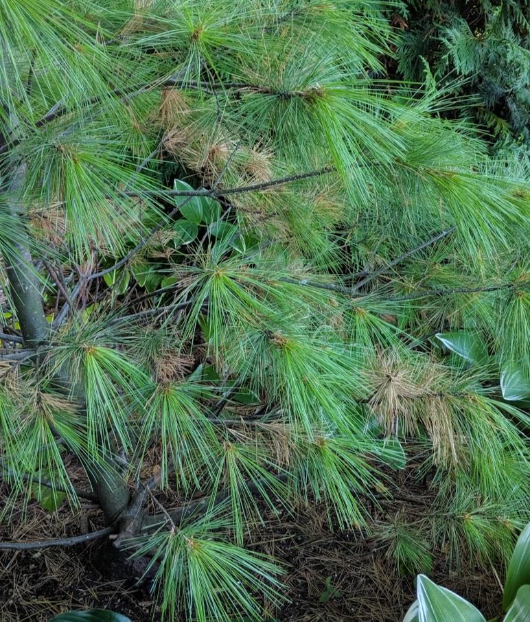 'Louie' white pine