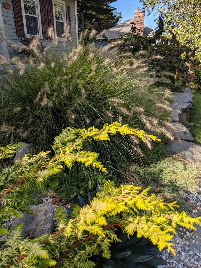 'Hameln' fountain grass