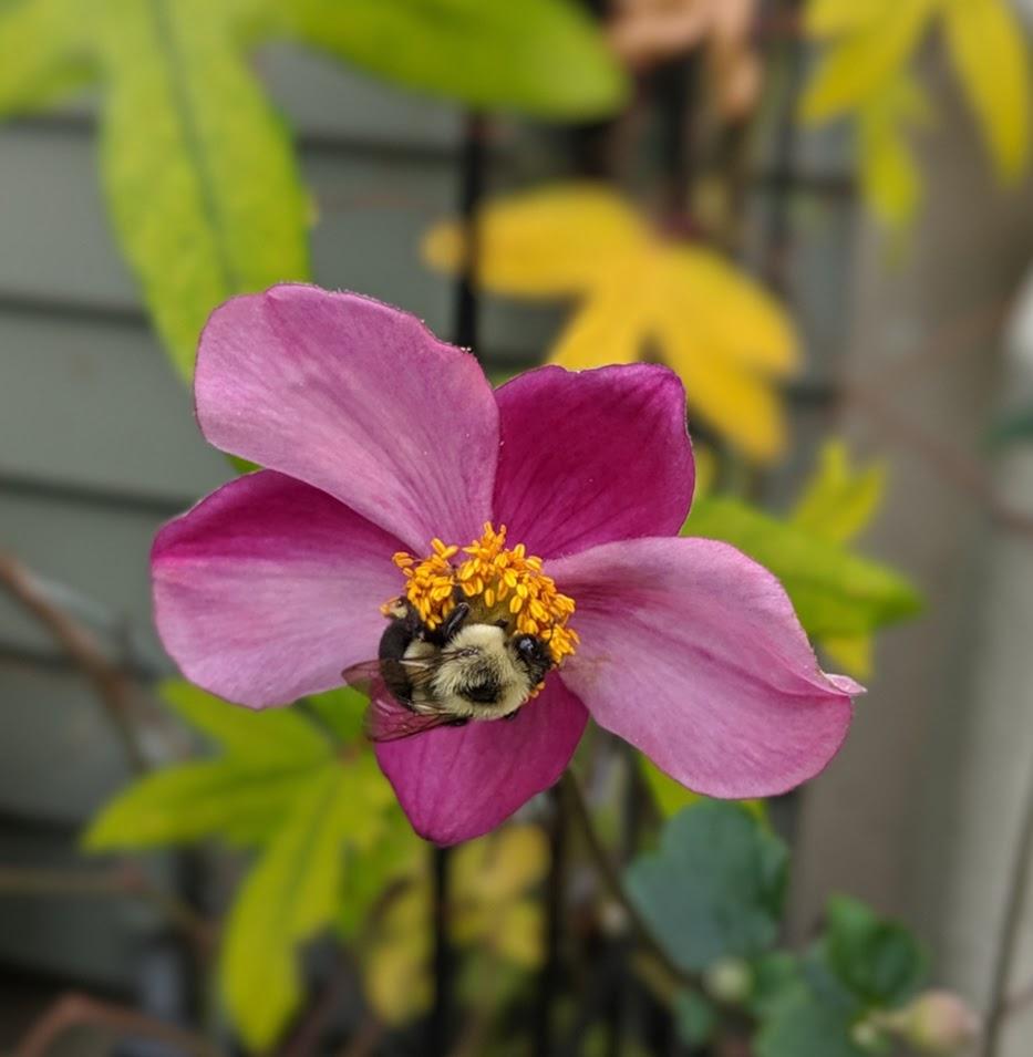 Bumblebee on Anemone