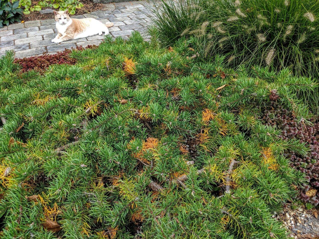 'Schoodic' Jack pine