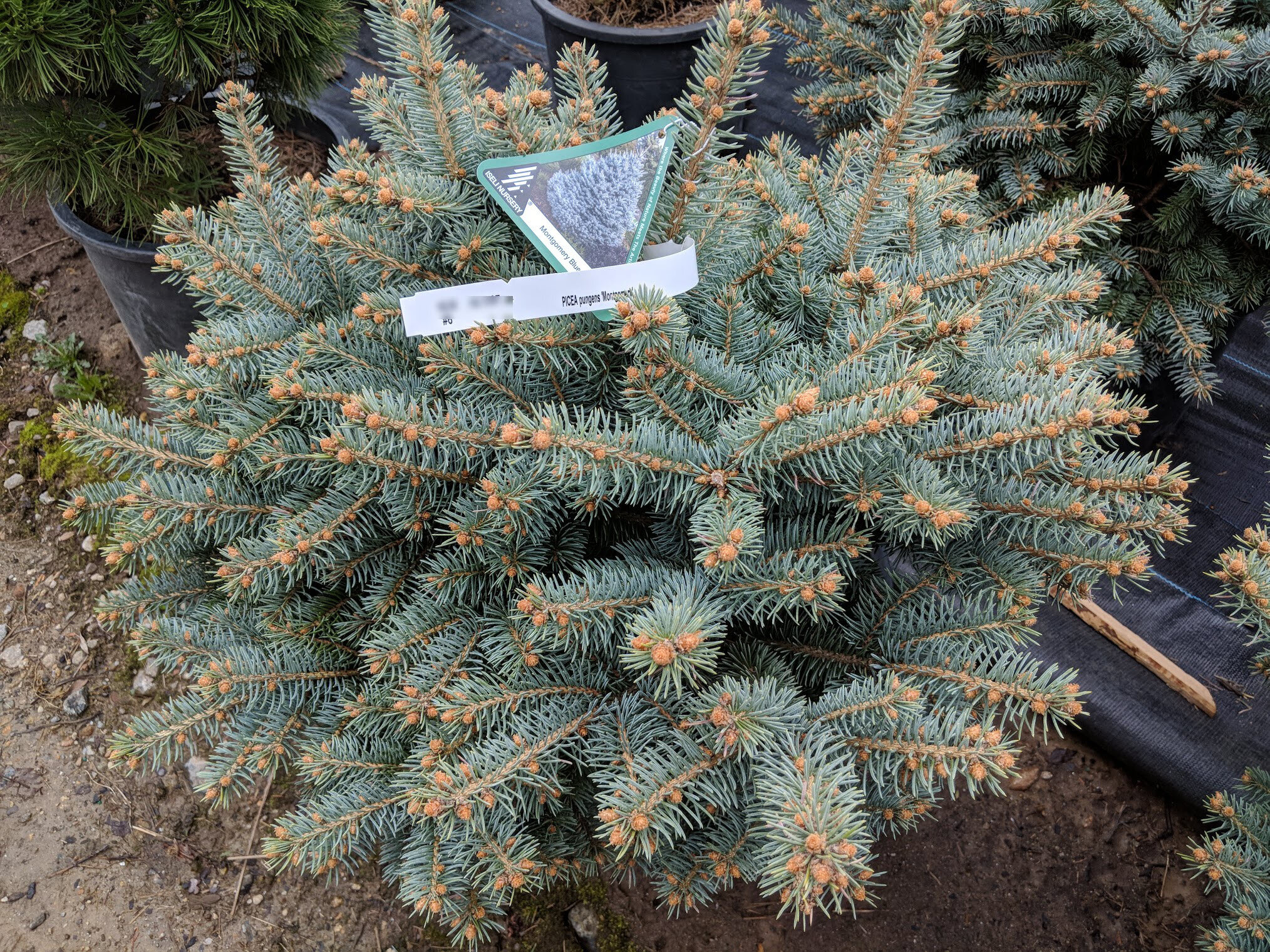 Blue spruce for color