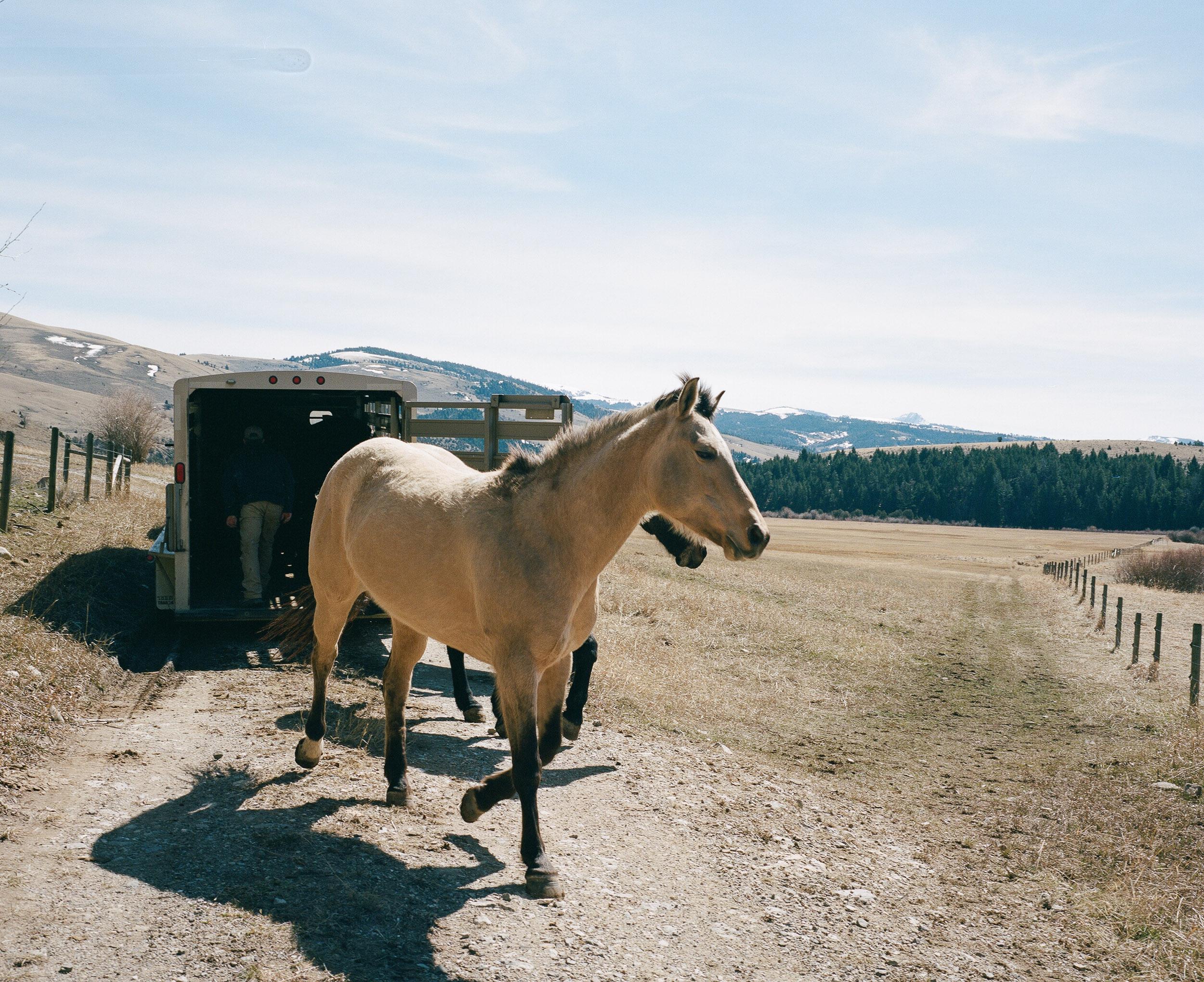 Horse exiting a horse trailer in Montana