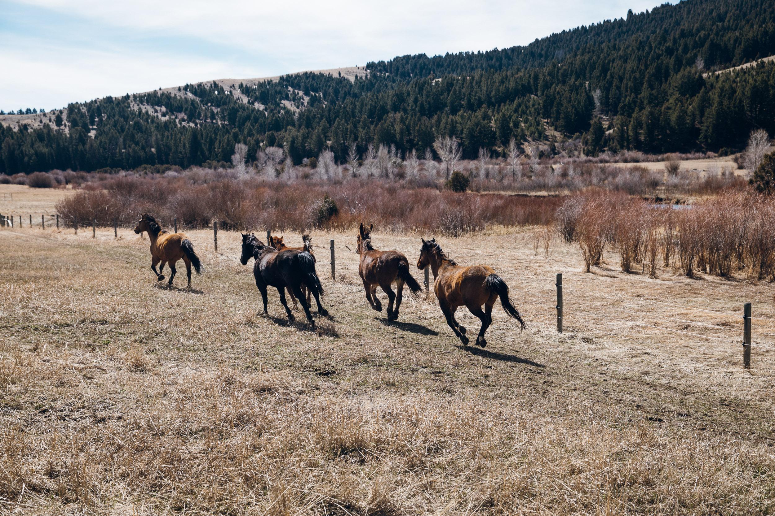 Horses running in a field in Winter in Montana