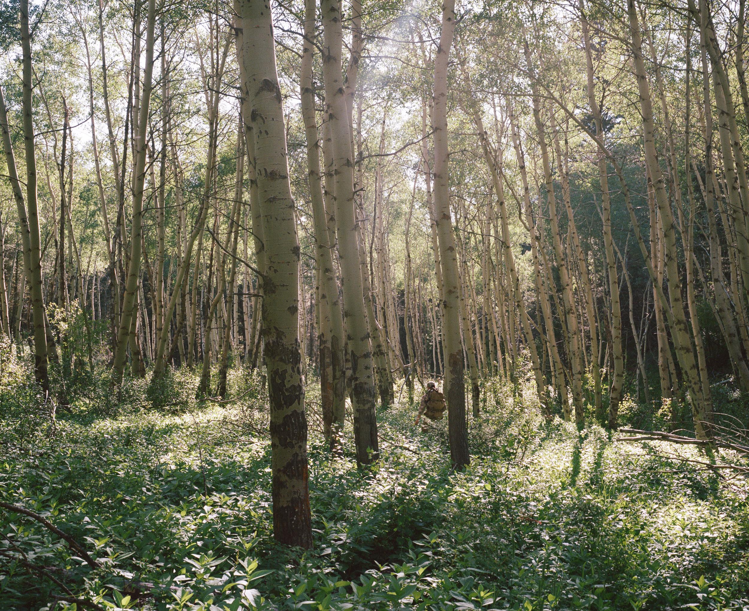 Hiker in birch forest