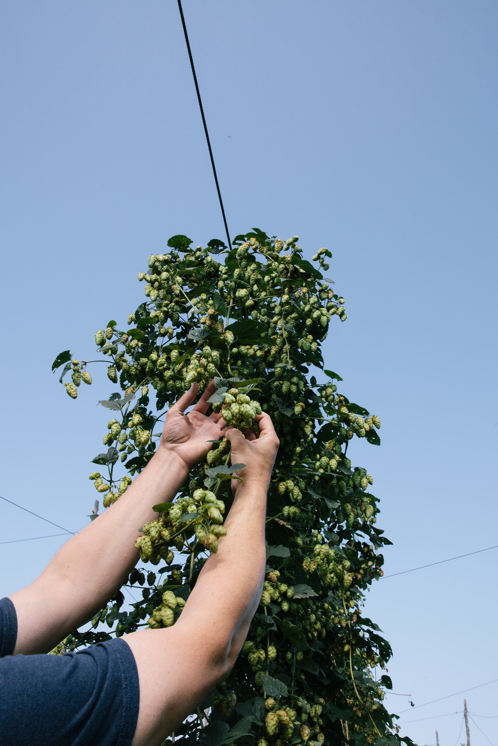 Hands picking hops- travel photography cape breton nova scotia for re:porter magazine