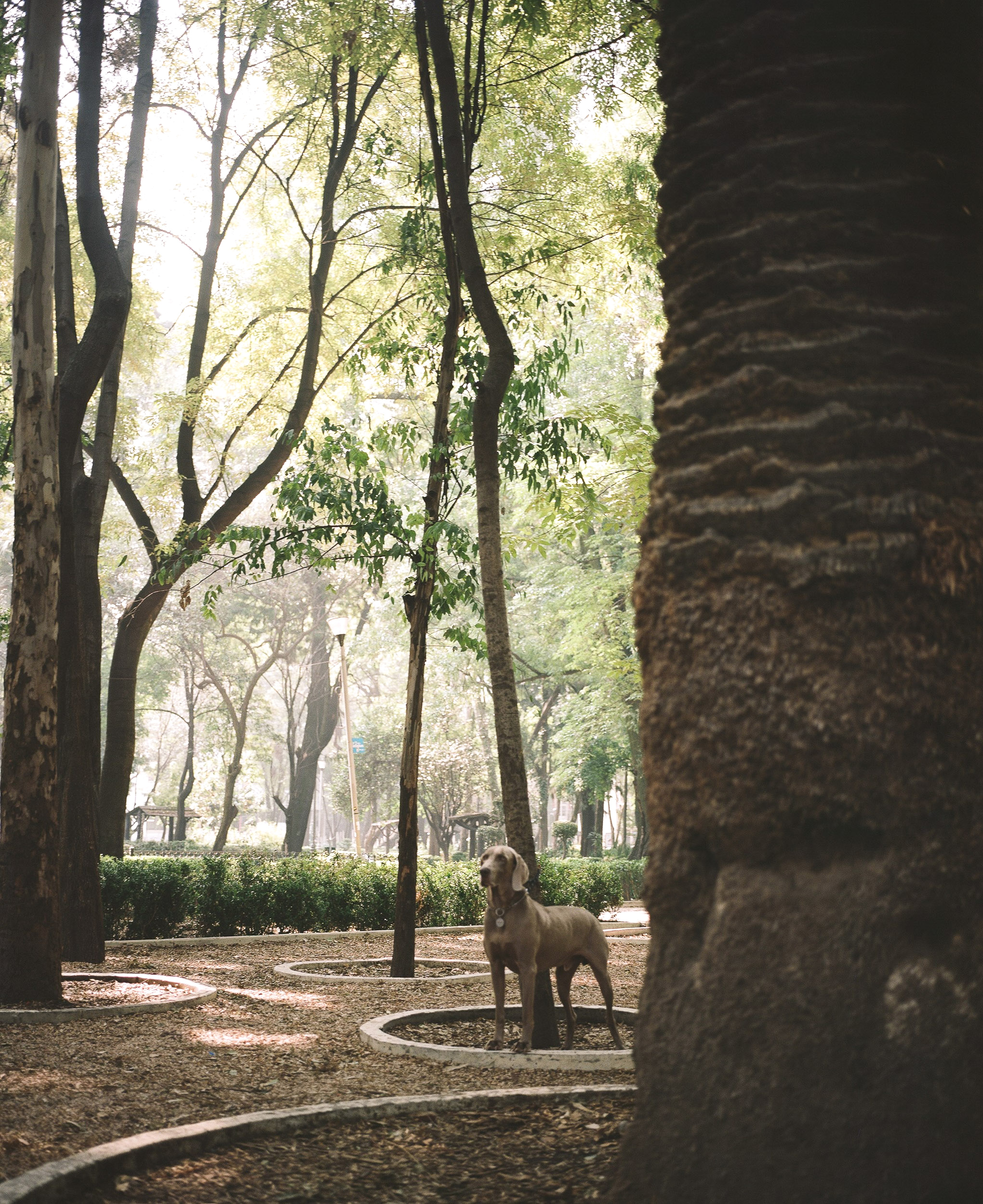 Dog in Plaza Mexico between tall trees, Mexico City