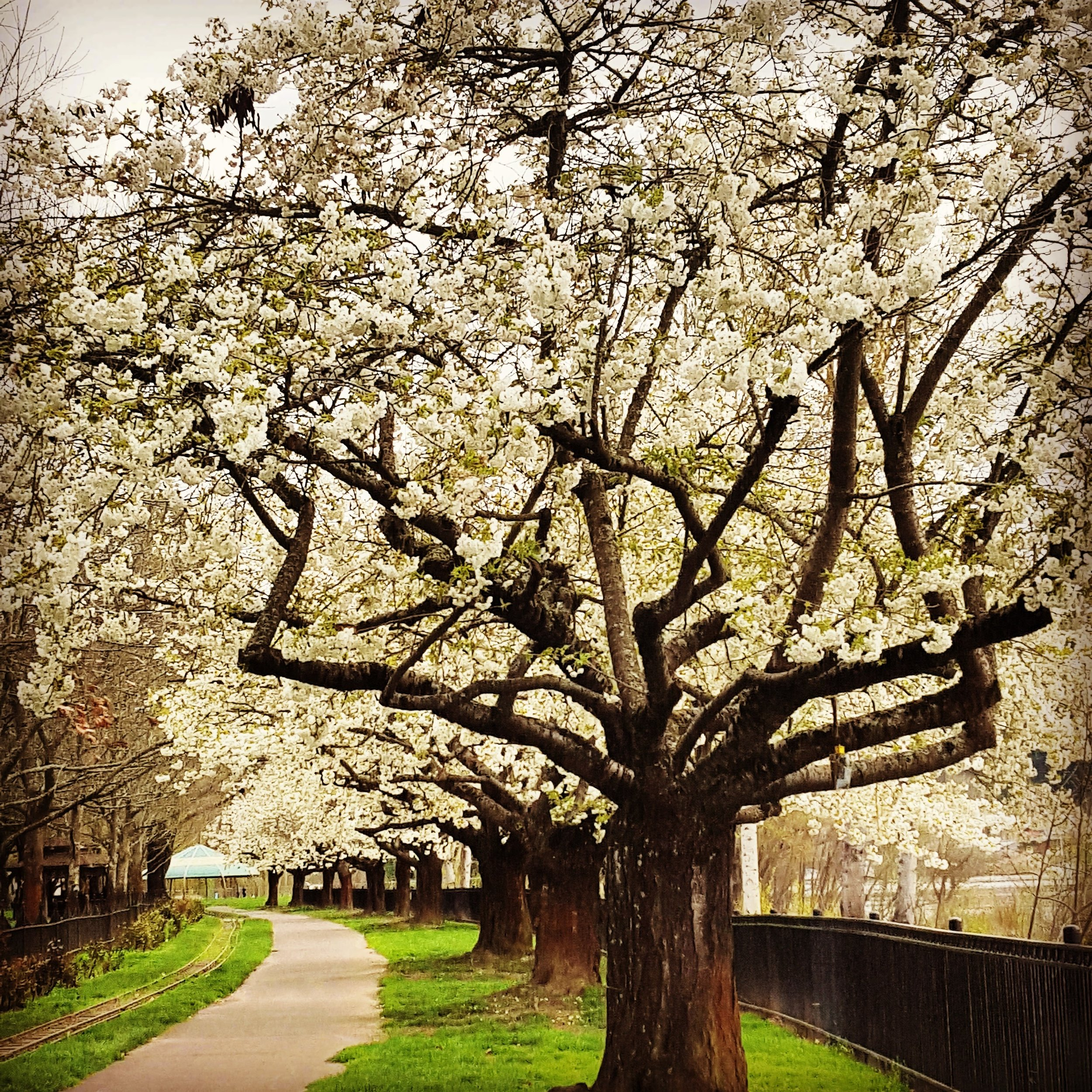 Cherry Blossoms on Oak Bottom Trail Portland, OR (Sellwood)  Photography by Claudelle Glasgow (c)