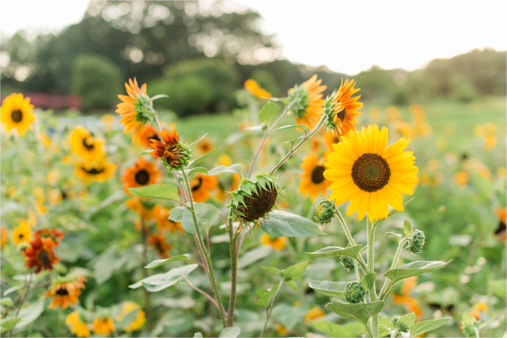 dorthea_dix_park_sunflower_field_raleigh_nc_jaclyn_auletta_photography_0003.jpg