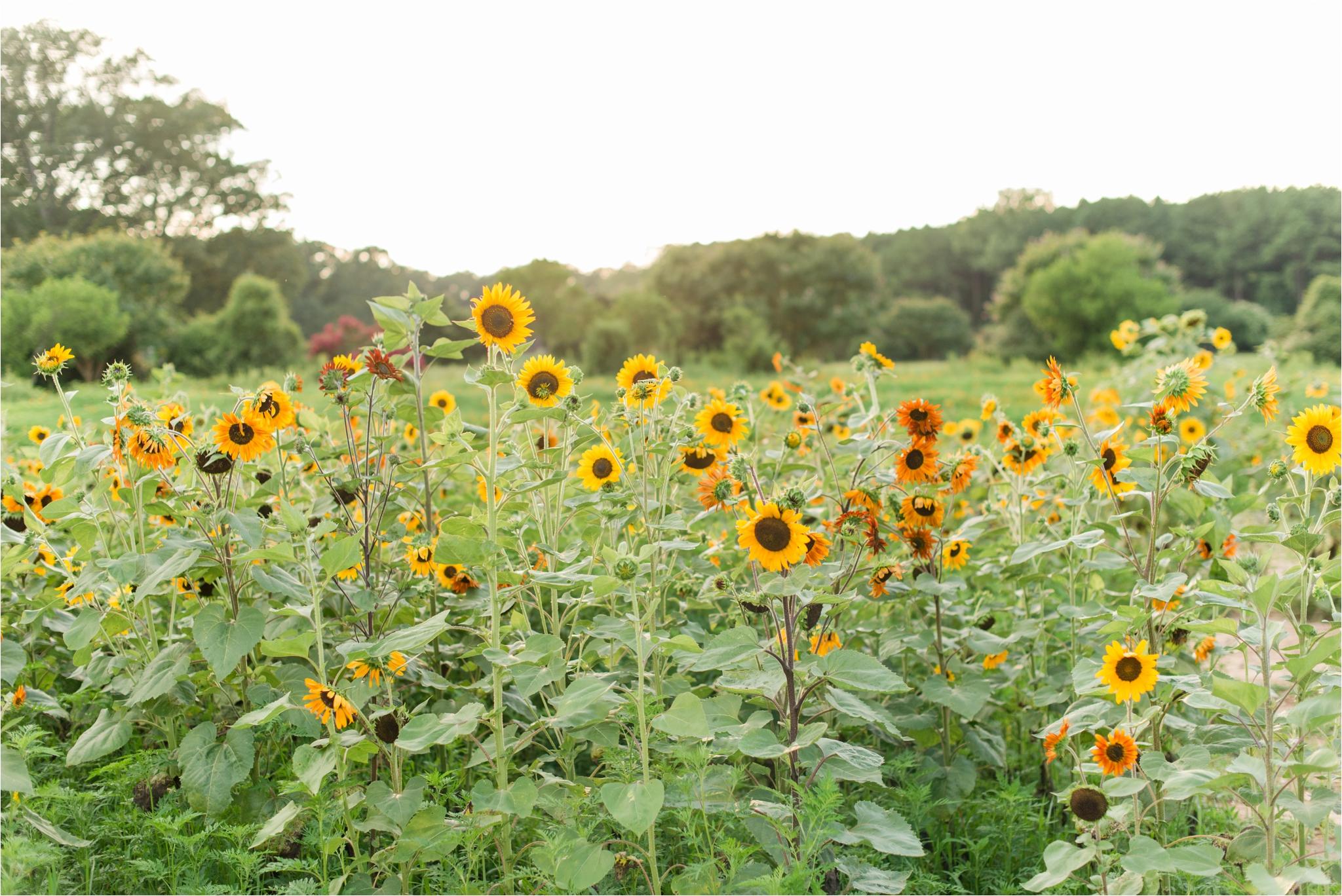 dorthea_dix_park_sunflower_field_raleigh_nc_jaclyn_auletta_photography_0002.jpg