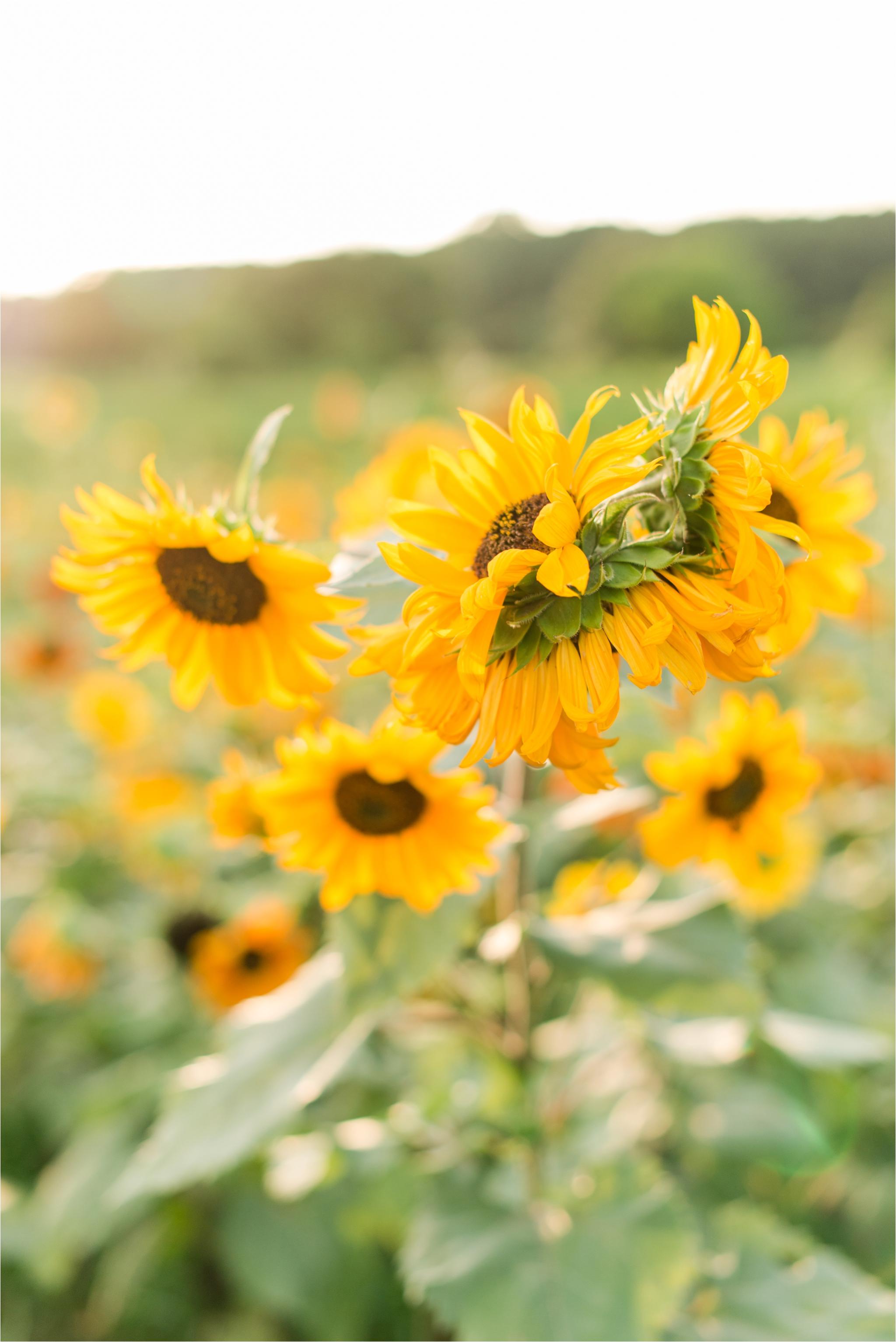 dorthea_dix_park_sunflower_field_raleigh_nc_jaclyn_auletta_photography_0008.jpg