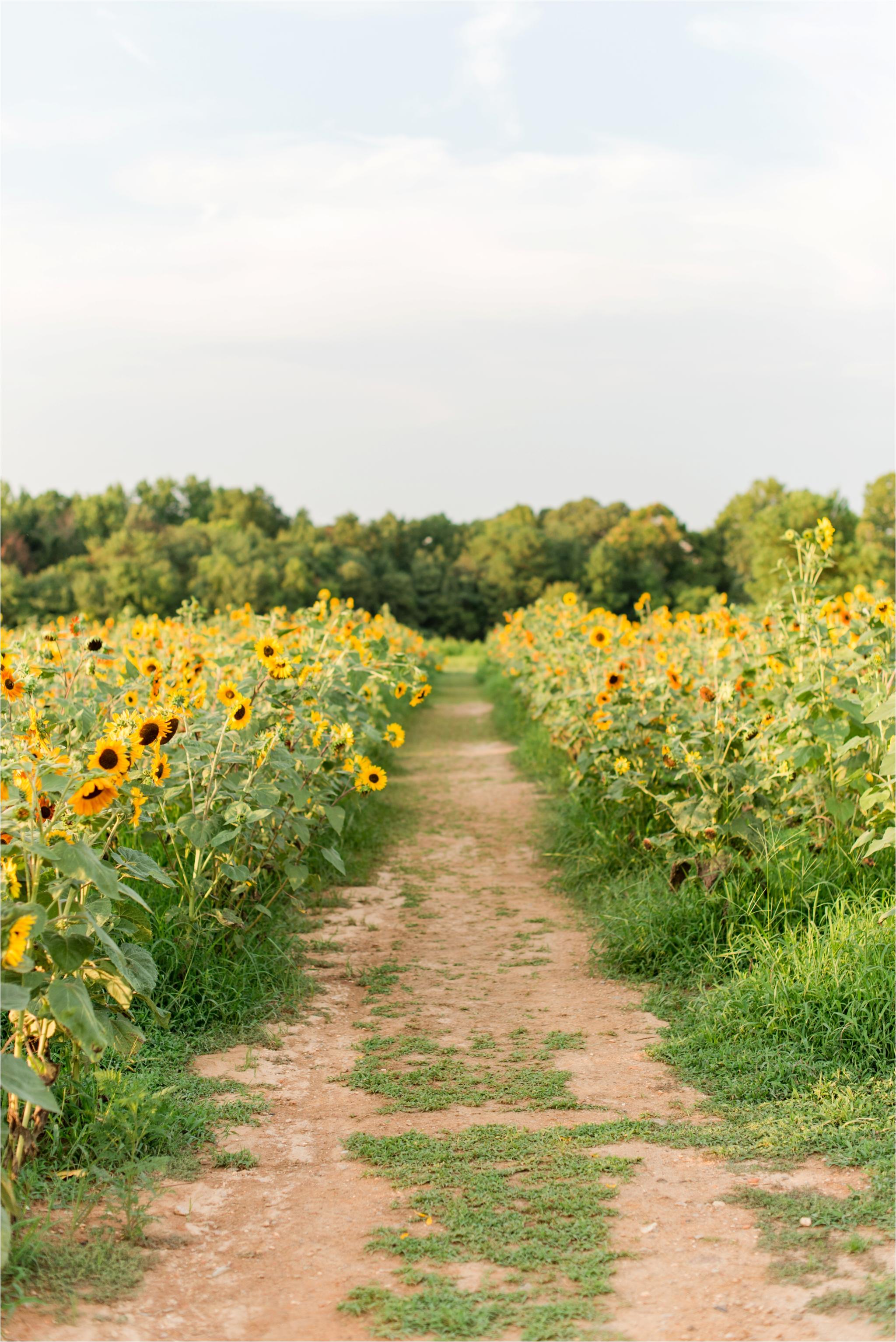 dorthea_dix_park_sunflower_field_raleigh_nc_jaclyn_auletta_photography_0006.jpg
