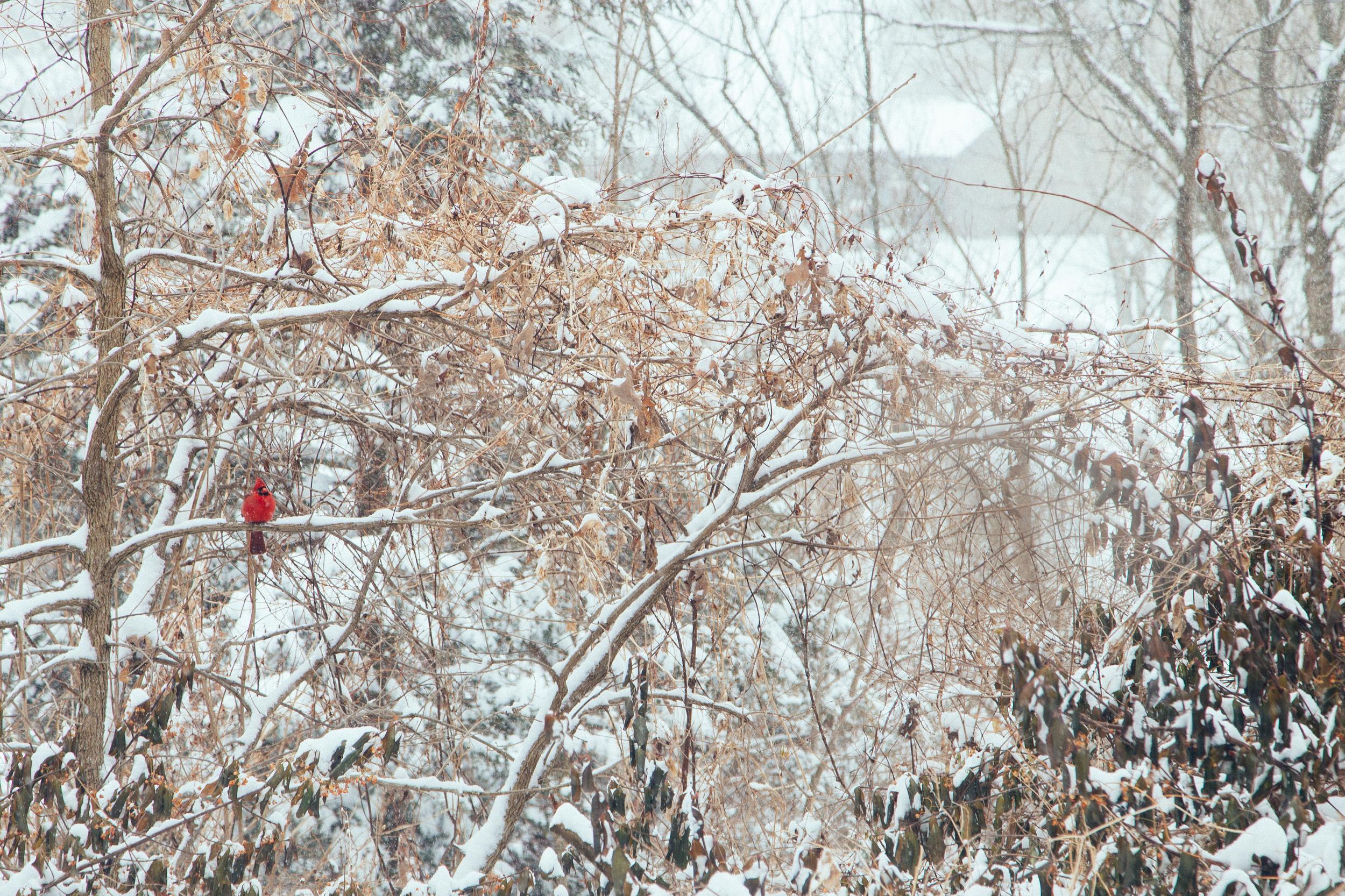 26 // 365 Snow day cardinal