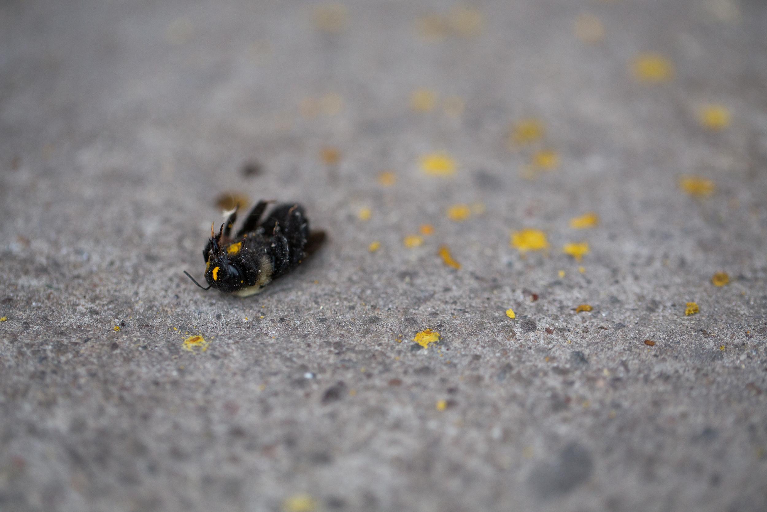 125 // 365 Carpenter bee funeral