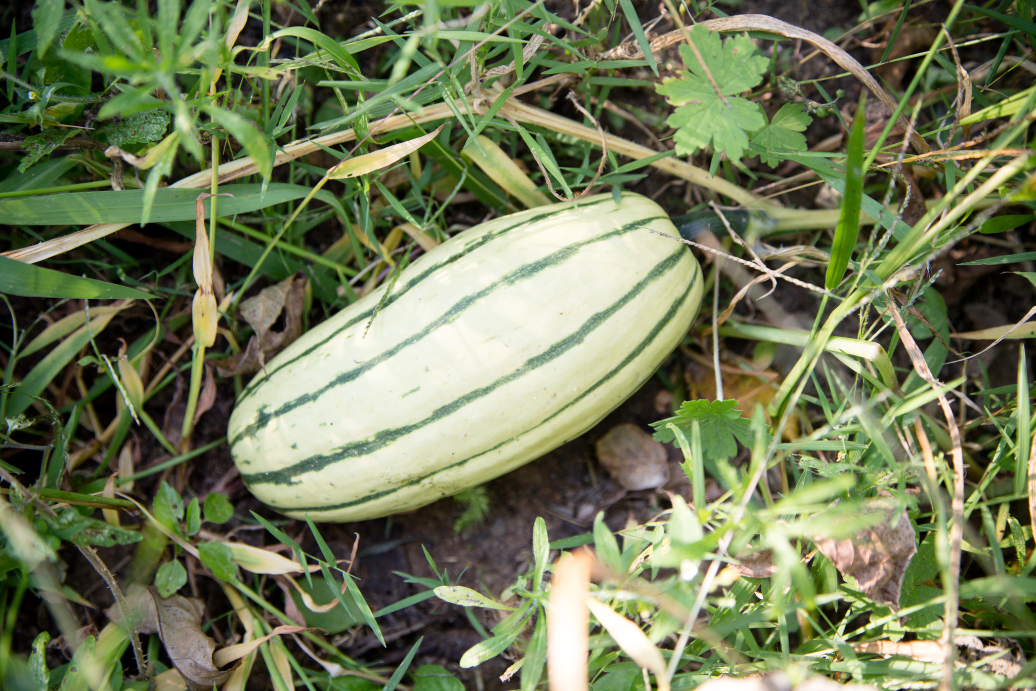 251 // 365 My widdle delicata squash from seed