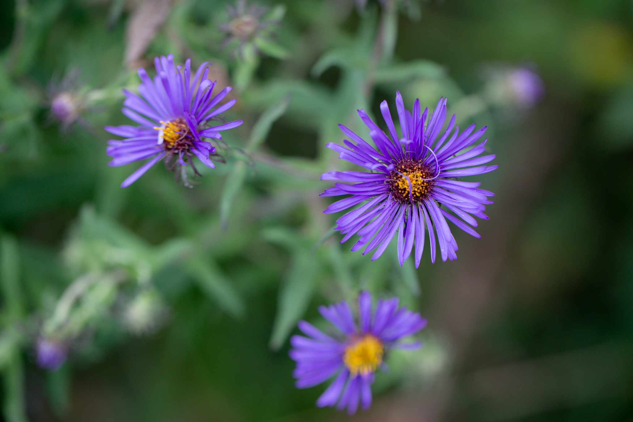252 // 365 New England Asters by the mailbox