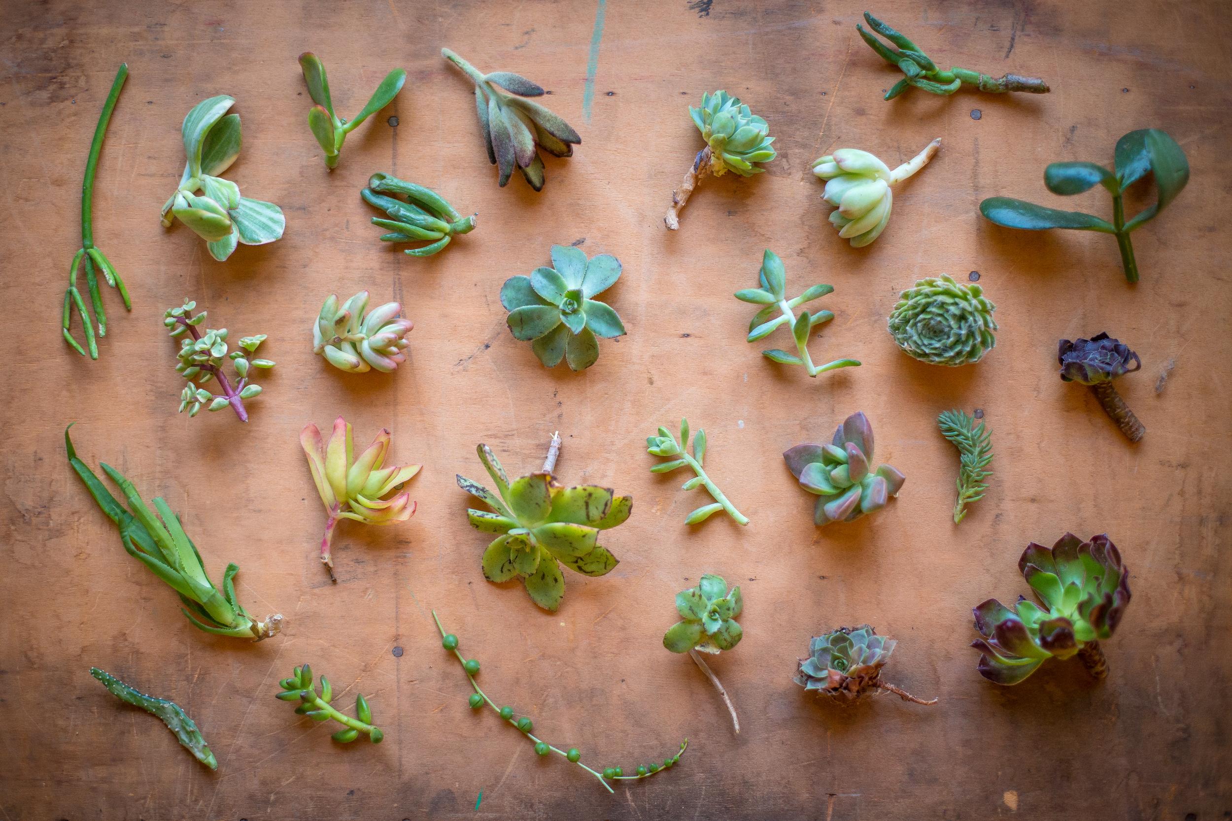 299 // 365 Succulent cuttings