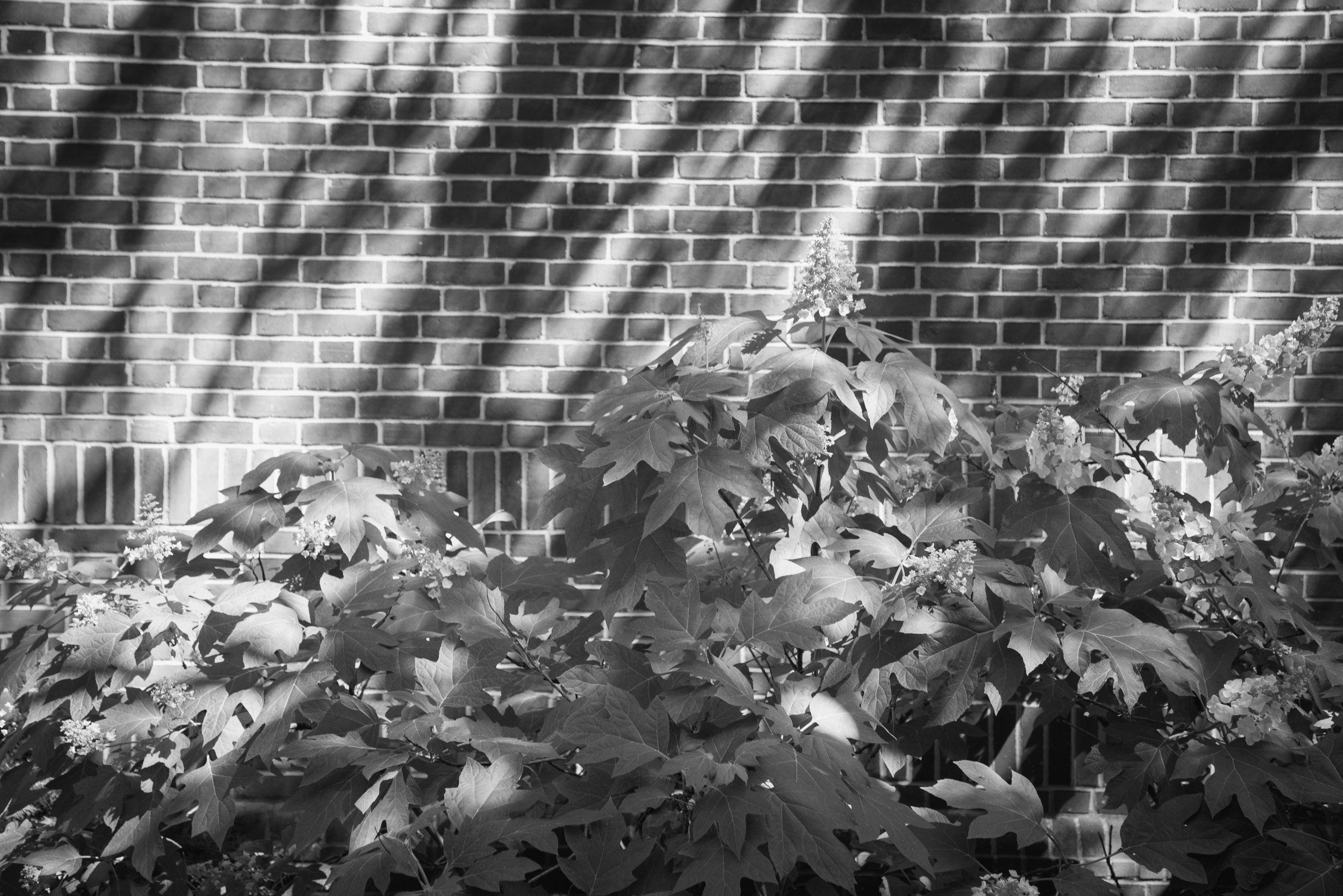 161 // 366 Sunny oak leaf hydrangea scene on my way out of work