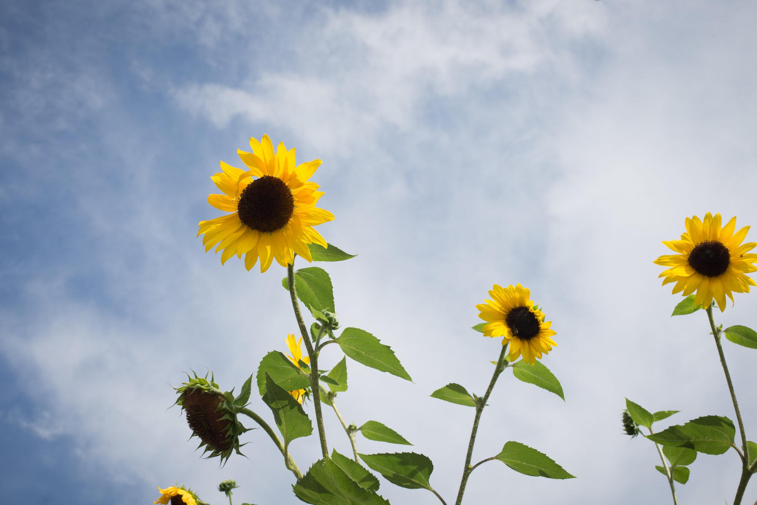 224 // 366 Sunflower's at Grandma's