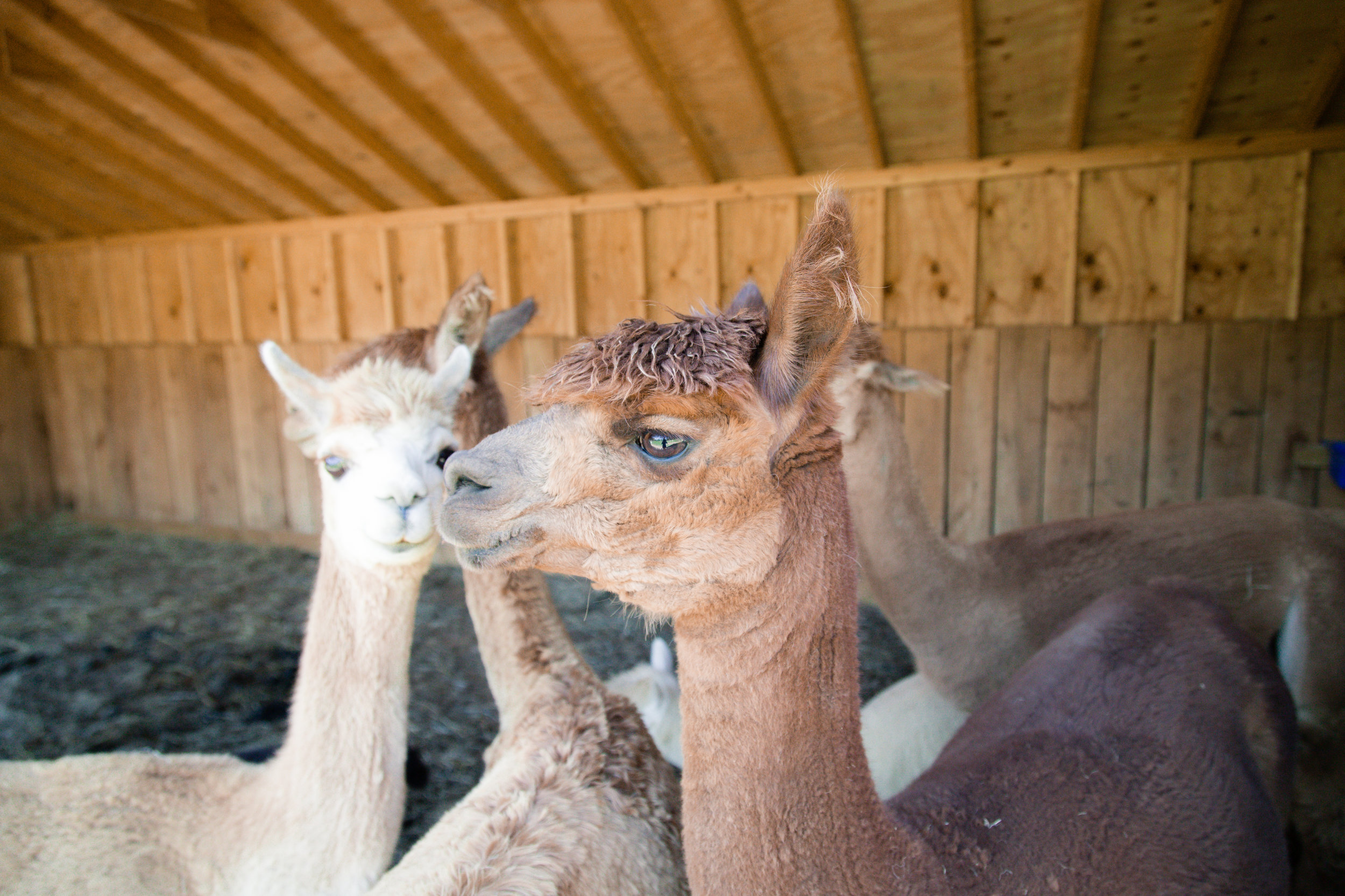241 // 366 Alpacas at one of the best weddings I've ever shot!