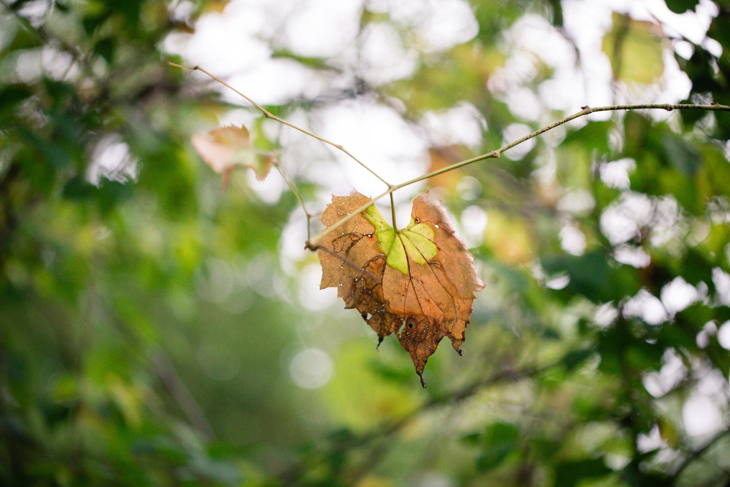 274 // 366 Fall grapevine