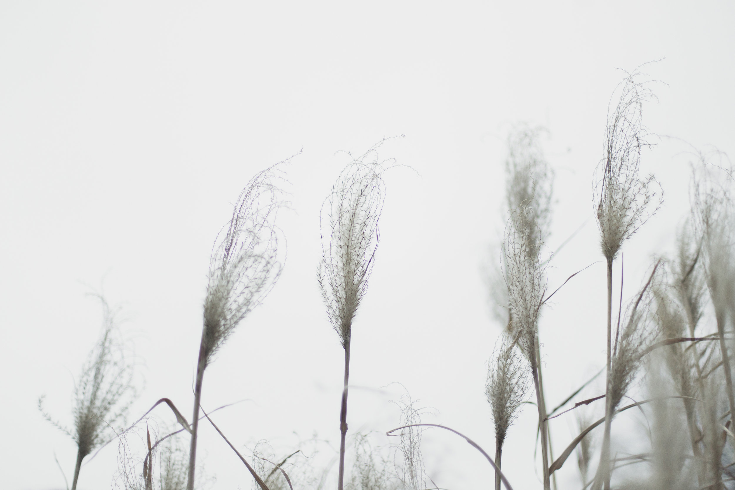 11 // 365 Blustery pampas grass