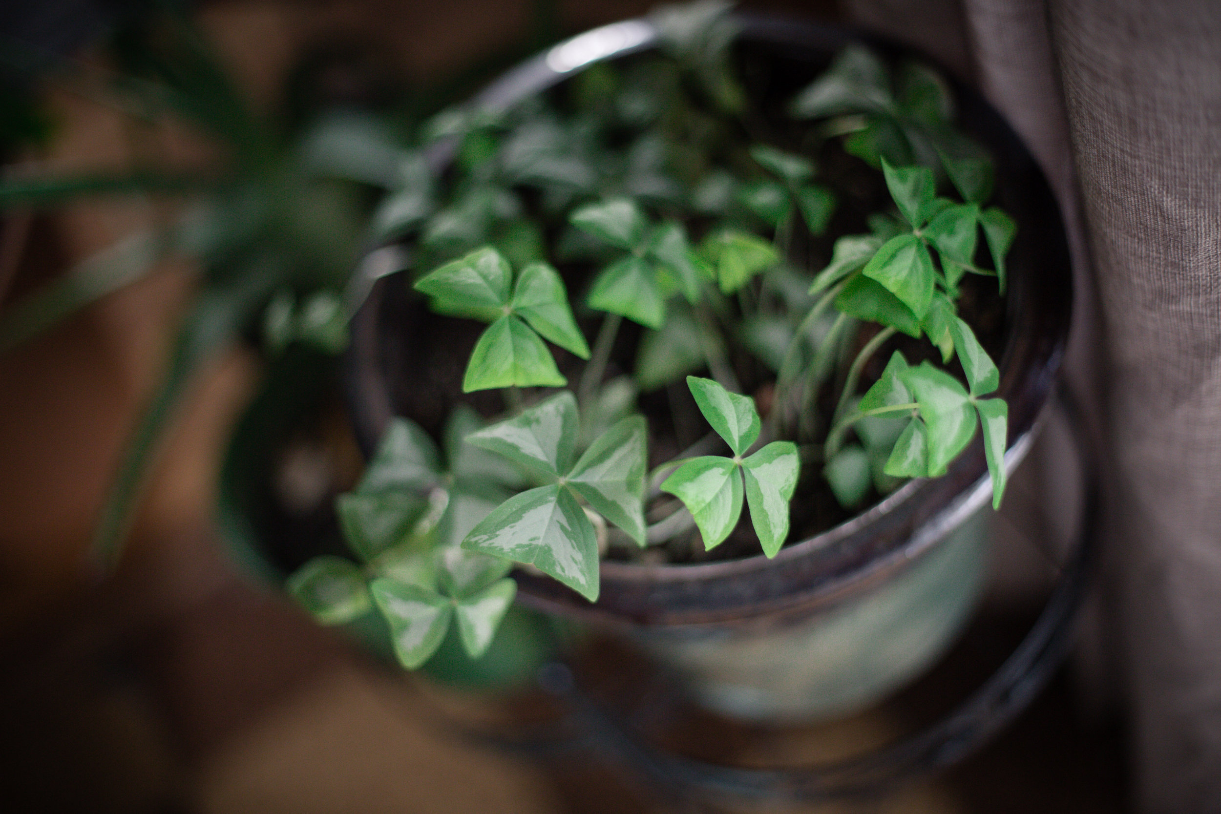 25 // 365 Oxalis reaching for the light