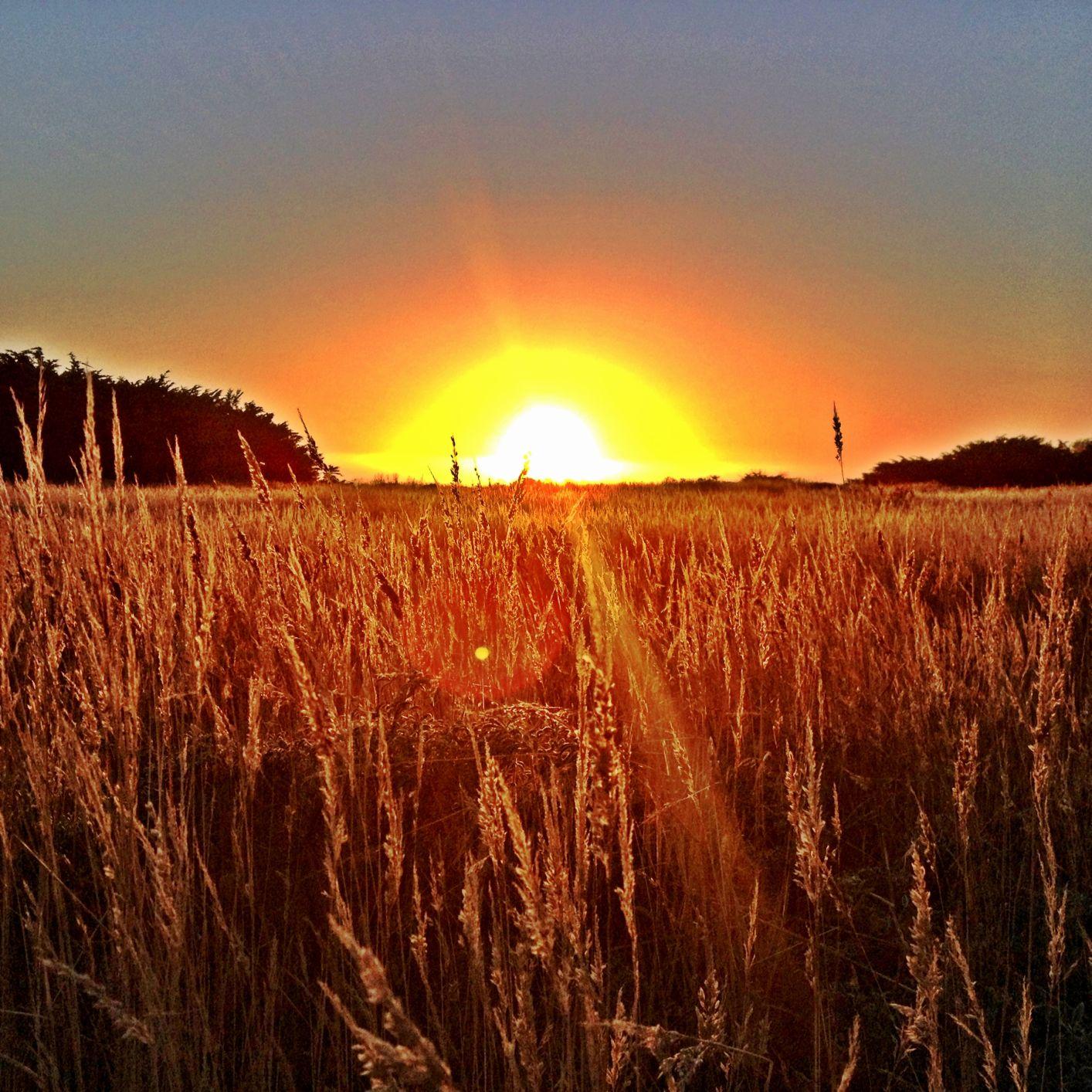A Golden Sea of Wheat.jpg
