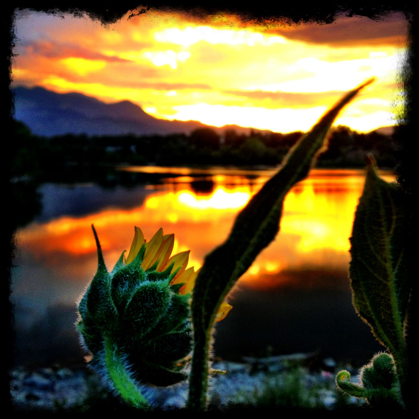 The Curious Sunflower.jpg