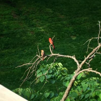 Two cardinals that visit us every morning. I call them Drax and Ovette. They live here. Just like us.