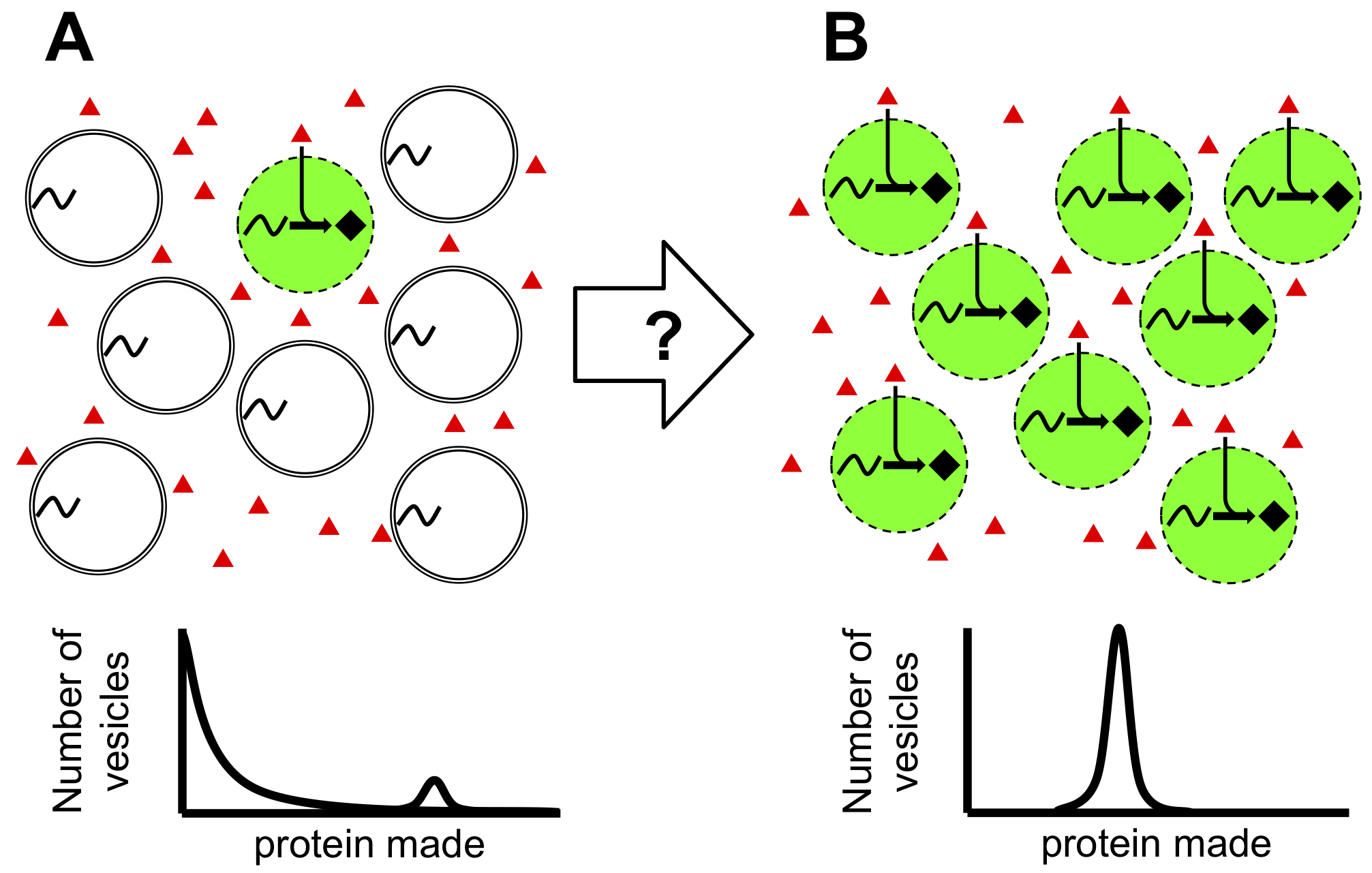 Figure: Engineering membranes for uniform protein production.  (A) (Top) A population of vesicles where only a few vesicles are permeable to resources essential for expression (red triangles) in the outer solution and thus able to make protein (black diamonds and green background). (Bottom) The result is a highly skewed protein population distribution where most vesicles make no protein and a few make large amounts of protein. (B) A process to make more vesicles permeable to protein expression resources (Top) would result in a more uniform protein population distribution (Bottom).