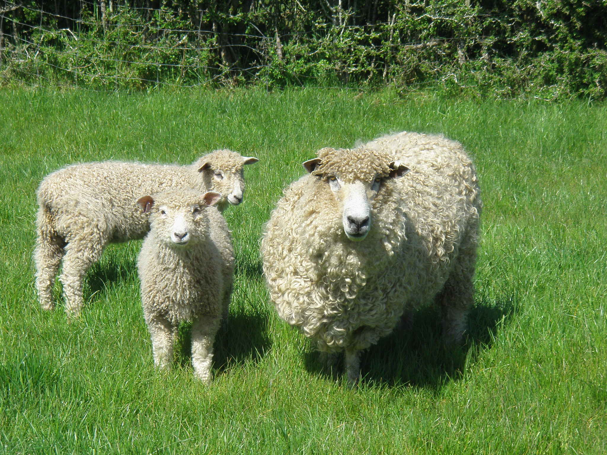 Ewe and lambs showing off their fleece on a sunny day at Melton Park