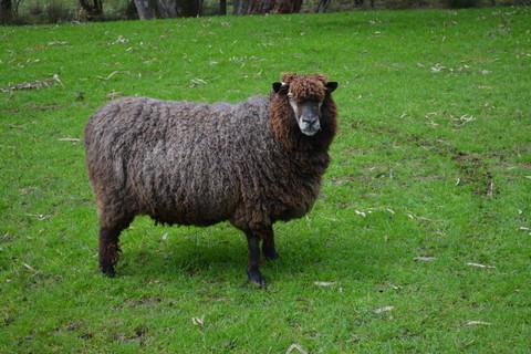 A black English Leicester sheep.