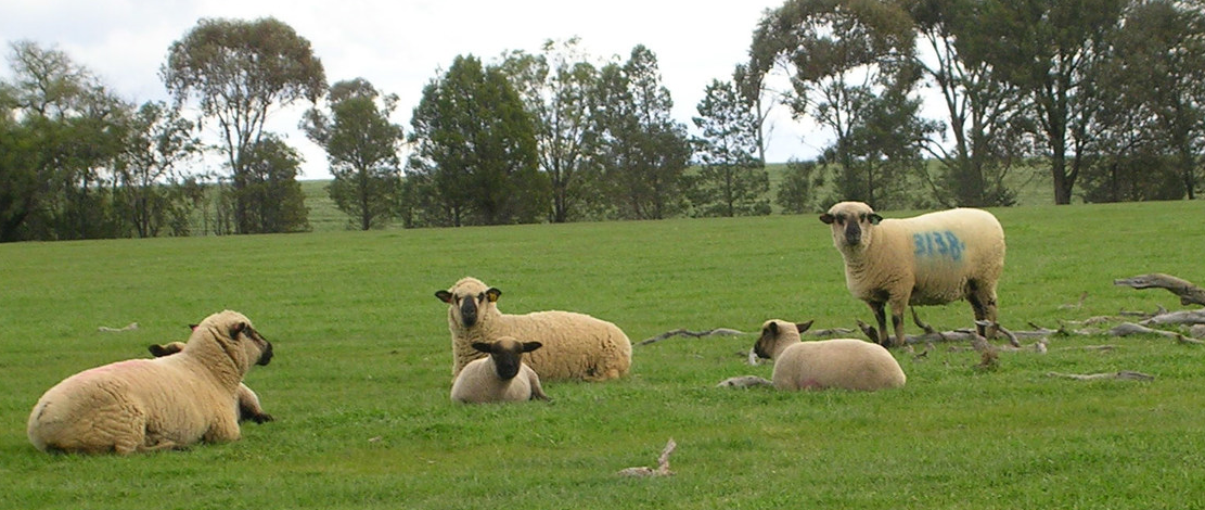 Ewes relaxing with lambs at Jurambula Hampshire Down Stud (Outside Henty, NSW)