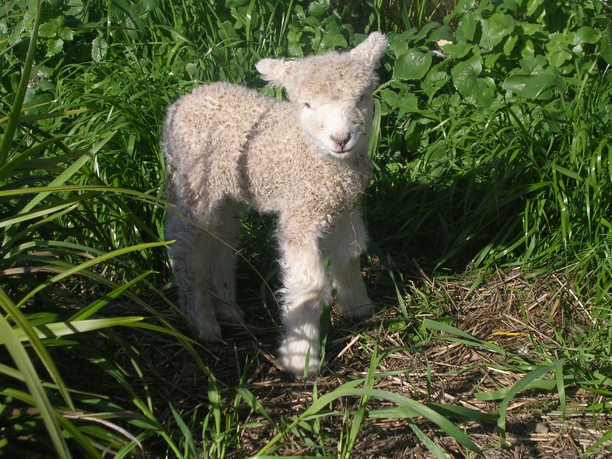 "Pet lamb ""Sapphire"" at Allaray Lincoln Stud"