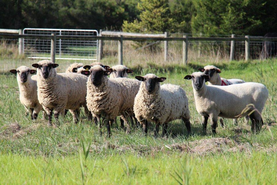 Hampshire Down flock at Boonong.
