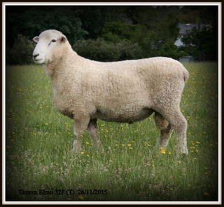 Tintern's Elmo stud has attracted much attention recently. The ram'ssemen has been sold to breeders in South Australia, Victoria, New Zealand and has had additional overseas inquiries.