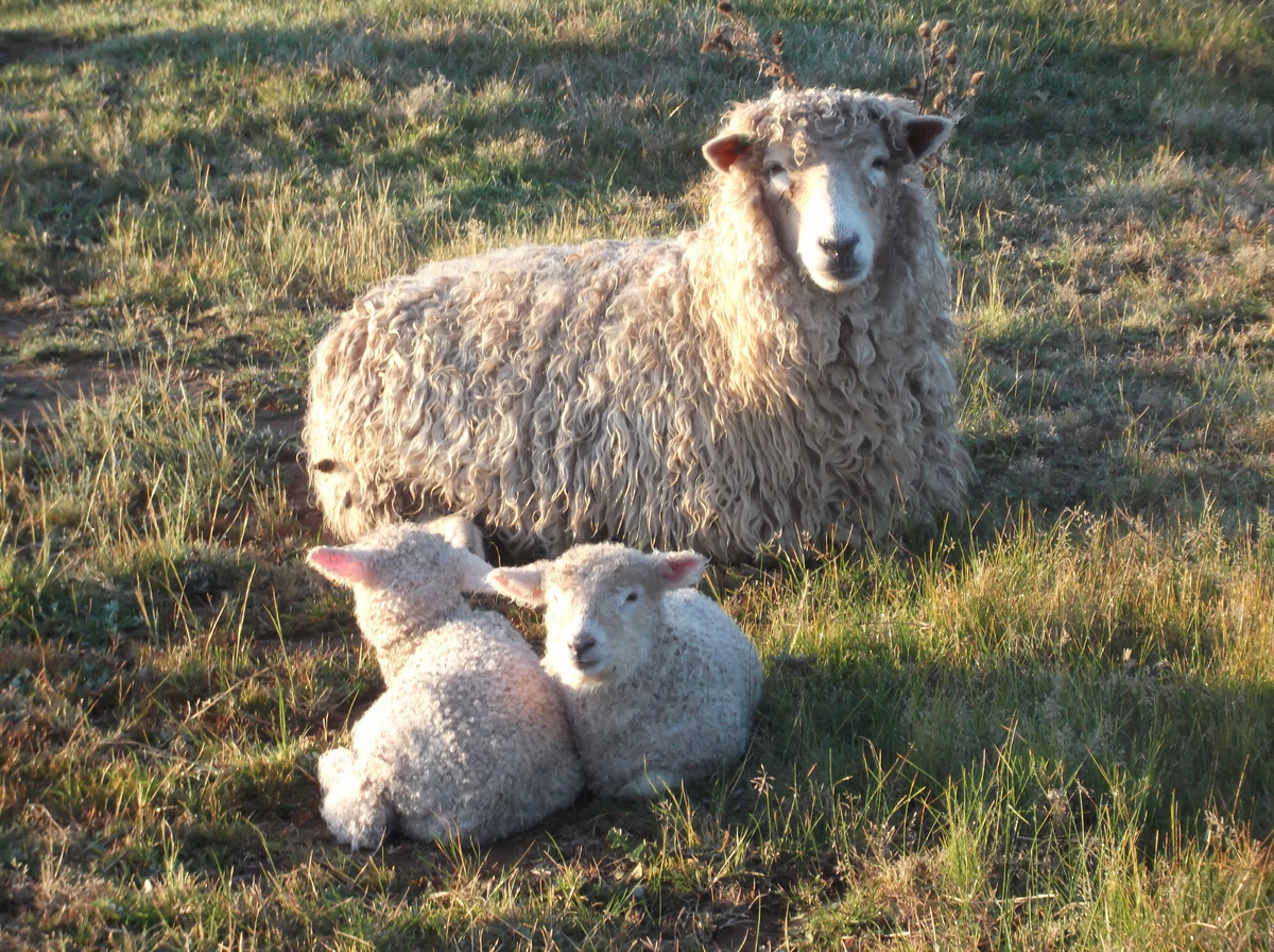 Allaray Lincoln Ewe with her twins.