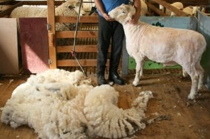 Tintern's Pedro just after a shearing.