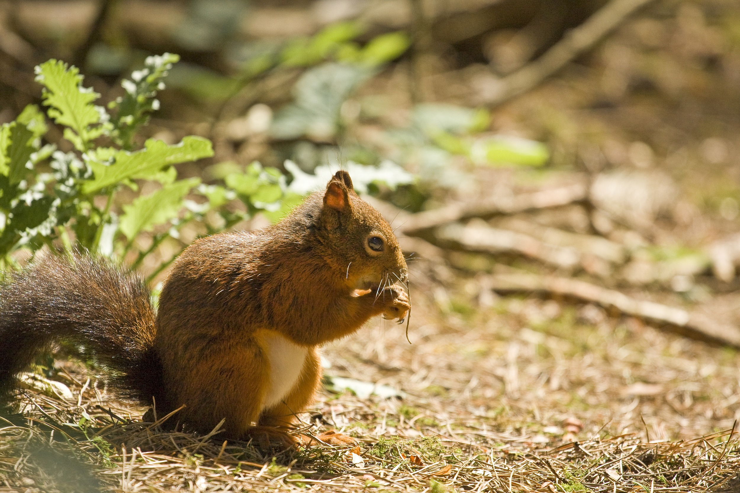 The indigenous squirrel species of our island is in serious threat of extinction and sanctuaries like Formby are incredibly important to their survival.