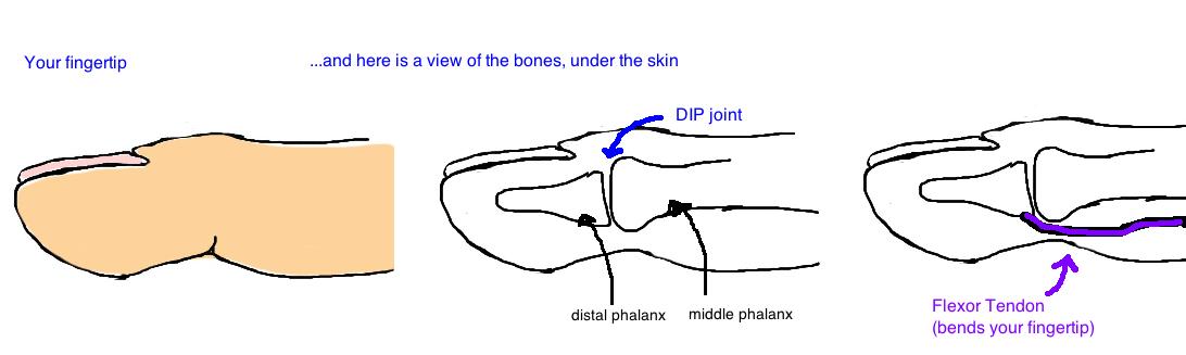anatomy of flexor digitorum profundus fdp anatomy jersey finger