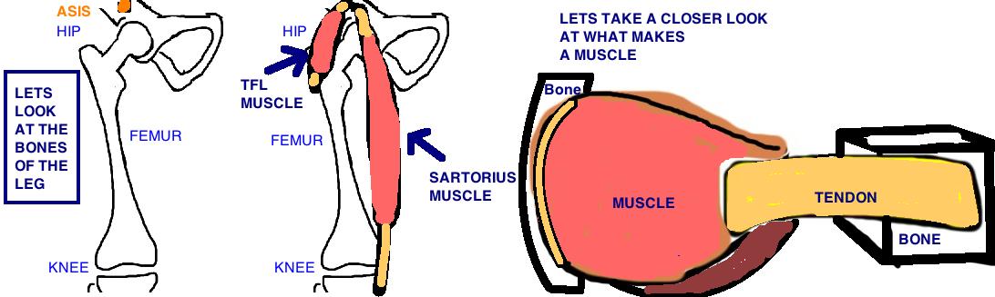 hip pointer anatomy