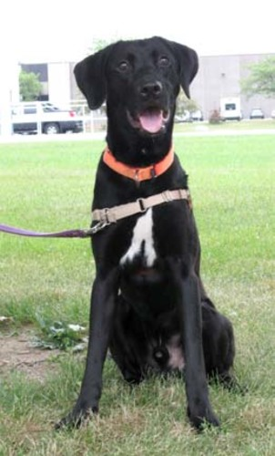 Beau is a black retriever mix from Waukesha and is looking for a home! Click his photo to see his petfinder.com profile.