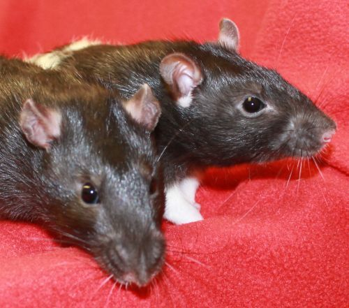 Phillipe and Justin, best buddy rats who need to be adopted together!