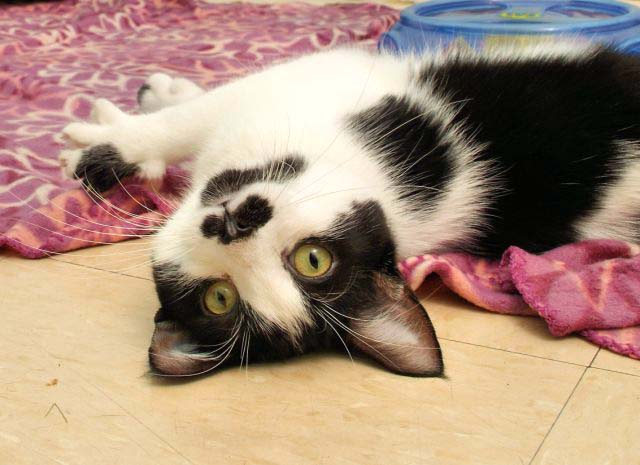 Miss Maggie Moo is a real special kind of cat. She loves to go to HAWS  Mobile events and walks around all the dogs on a leash like she owns the  place. She is a very easy going kitty that hopes to find a forever  home ASAP!