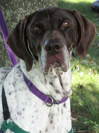 Roy is a great example of the pure bred dogs HAWS has every day. He is a  8yr old German Shorthair Pointer who would do best in an adult home  because at this point in his life he doesn't want to raise any  children. Like many dogs of this breed, Roy would not do well with  small critters like cats.