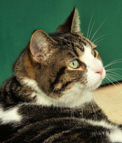 "A ""Dandy"" of a feline!  Dandy is a 10 year old male cat who is front declawed.  He is very friendly and loves everyone.  Dandy is currently living at the new Petsmart in Pewaukee as part of an adoption partnership between HAWS and Petsmart.  Stop out today to meet Dandy and his friends!"