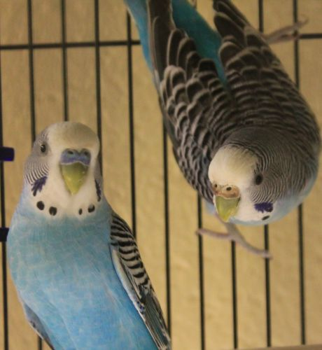 """Barbie and Ken--the """"blue birds""""--love Christmas time and enjoy spreading their joy with the sweet sounds they make. If a pair of parakeets are in your future make sure to stop by to meet Barbie and Ken."""