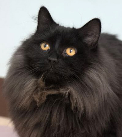 Kong is a young, long-haired black kitty that is sure to keep you nice and snug on this cold winter nights. He would do best in a home with adults who know how to keep his coat nice and tangle free!