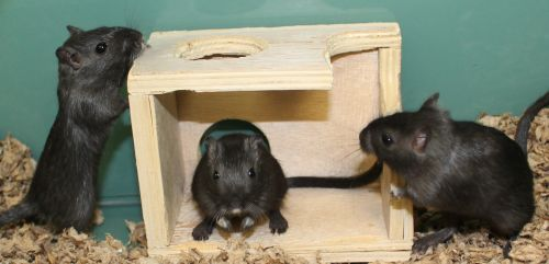 This trio of gerbils love to play together and dig tunnels and run in their wheels. They are friendly but not easy to handle as they just can't sit still! They will entertain you for hours. Gerbils are extremely social so they must all be adopted together as a group. They won't take up much space or much time and can live up to 4 years. To learn about gerbils as pets go to  http://www.humanesociety.org/animals/gerbils/ .
