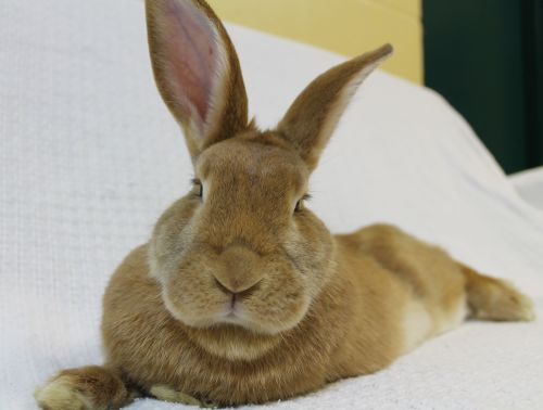 This lovely fawn colored gal is Bebe. She is very sweet and loves to explore--she is very curious. She enjoys loving gentle pets. Bebe is a large rabbit and needs an appropriate sized cage.  For a wonderful and easy bun-approved cage idea check out this article on  sandiegorabbits.org .    To learn about house rabbits as companions go to  www.rabbit.org .